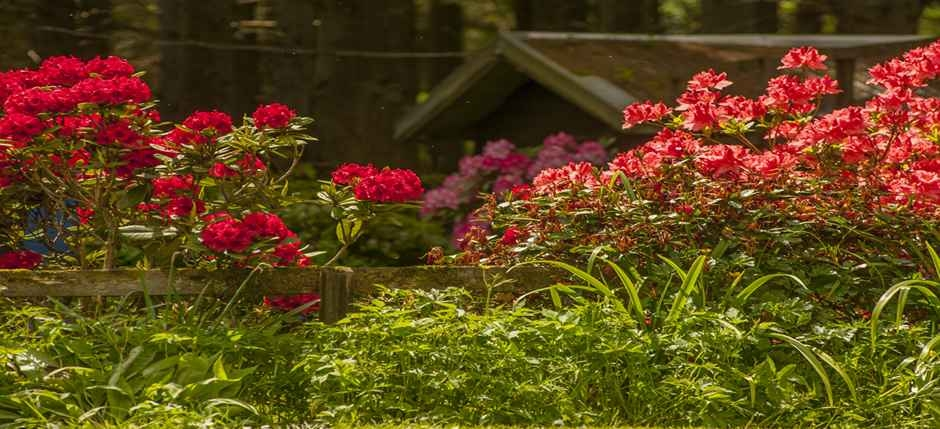 azaleas provide a splash of colour.